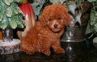 Toy Poodle Puppies for sale in Oklahoma City, OK, USA. price: NA