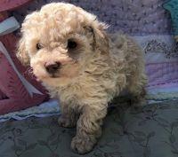 Toy Poodle Puppies for sale in Long Beach, CA, USA. price: NA