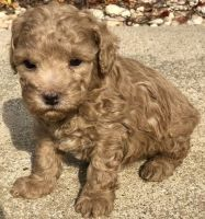 Toy Poodle Puppies for sale in Worcester, MA, USA. price: NA