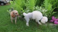 Toy Poodle Puppies for sale in Warren Center, PA 18851, USA. price: NA