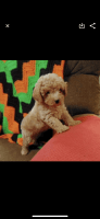 Toy Poodle Puppies for sale in Brookhaven, PA 19015, USA. price: NA