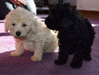Toy Poodle Puppies for sale in Pennsylvania Turnpike, Pennsylvania, USA. price: NA