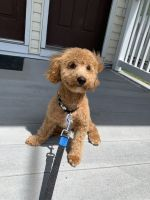 Toy Poodle Puppies for sale in West Haven, CT 06516, USA. price: NA