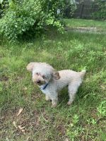 Toy Poodle Puppies for sale in East Hartford, CT, USA. price: NA
