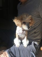 Toy Poodle Puppies for sale in Sacramento, CA, USA. price: NA