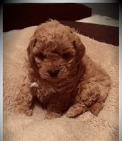 Toy Poodle Puppies for sale in Richmond, CA, USA. price: NA