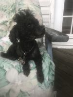 Toy Poodle Puppies for sale in 118 W Mechanic St, Frostburg, MD 21532, USA. price: NA