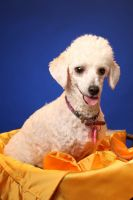 Toy Poodle Puppies for sale in Clackamas, OR, USA. price: NA