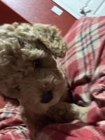 Toy Poodle Puppies for sale in Roseville, CA, USA. price: NA
