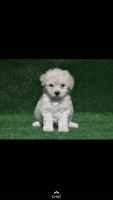 Toy Poodle Puppies for sale in Pomona, CA, USA. price: NA