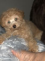 Toy Poodle Puppies Photos