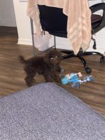 Toy Poodle Puppies for sale in Port Orange, FL, USA. price: NA