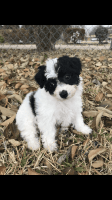 Toy Poodle Puppies for sale in Dallas, TX, USA. price: NA