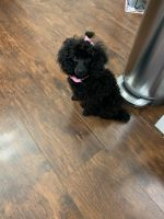 Toy Poodle Puppies for sale in Bolingbrook, IL, USA. price: NA