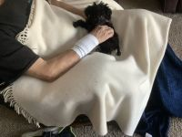 Toy Poodle Puppies for sale in Royalton, MN 56373, USA. price: NA