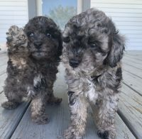Toy Poodle Puppies for sale in Fort Meade, FL, USA. price: NA