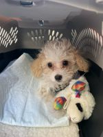 Toy Poodle Puppies for sale in Centennial, CO, USA. price: NA