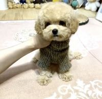 Toy Poodle Puppies for sale in Chino Hills, CA, USA. price: NA