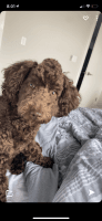 Toy Poodle Puppies for sale in Bayonne, NJ, USA. price: NA