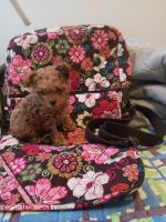 Toy Poodle Puppies for sale in Huntsville, AL, USA. price: NA
