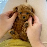 Toy Poodle Puppies for sale in Daytona Beach, FL 32115, USA. price: NA