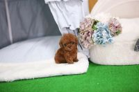 Toy Poodle Puppies for sale in Dayton, OH, USA. price: NA
