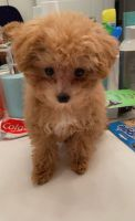 Toy Poodle Puppies for sale in Irvine, CA, USA. price: NA