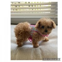 Toy Poodle Puppies for sale in Baltimore County, MD, USA. price: NA