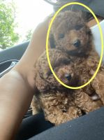 Toy Poodle Puppies for sale in New Fairfield, CT, USA. price: NA
