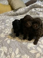 Toy Poodle Puppies for sale in Madison, WI, USA. price: NA