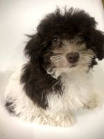 Toy Poodle Puppies for sale in 2906 Nevermind Ln, Colorado Springs, CO 80917, USA. price: NA