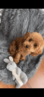 Toy Poodle Puppies for sale in Short Pump, VA, USA. price: NA