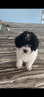 Toy Poodle Puppies for sale in Orlando, FL, USA. price: NA