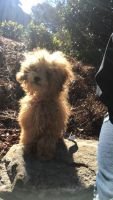 Toy Poodle Puppies for sale in Hampton, GA 30228, USA. price: NA