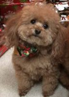 toy poodle dog