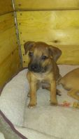 Treeing Cur Puppies Photos