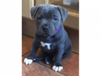Treeing Tennessee Brindle Puppies for sale in Westerville Woods Dr, Columbus, OH 43231, USA. price: NA