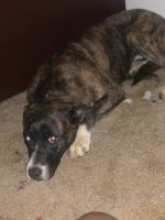 Treeing Tennessee Brindle Puppies for sale in 3985 E Bijou St, Colorado Springs, CO 80909, USA. price: NA