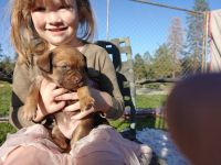 Treeing Tennessee Brindle Puppies Photos