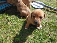 Treeing Tennessee Brindle Puppies for sale in Grass Valley, CA, USA. price: NA