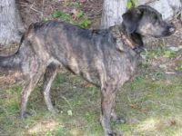 treeing tennessee brindle dog