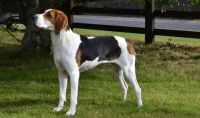 treeing walker coonhound dog