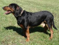 tyrolean hound dog