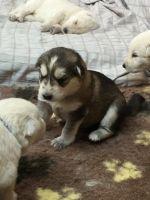 Utonagan Puppies for sale in Altamonte Springs, FL 32701, USA. price: NA