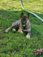 Utonagan Puppies for sale in Atwater, CA 95301, USA. price: NA