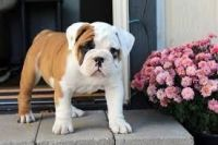Valley Bulldog Puppies for sale in Beaver Creek, CO 81620, USA. price: NA
