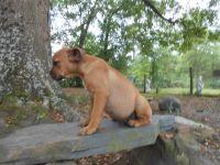 Valley Bulldog Puppies Photos