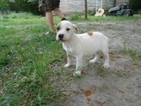 Valley Bulldog Puppies for sale in Four Oaks, NC 27524, USA. price: NA