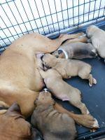 Valley Bulldog Puppies for sale in Phoenix, AZ, USA. price: NA