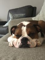 Valley Bulldog Puppies for sale in Waukesha, WI, USA. price: NA